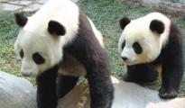 chiang-mai-zoo-panda-03